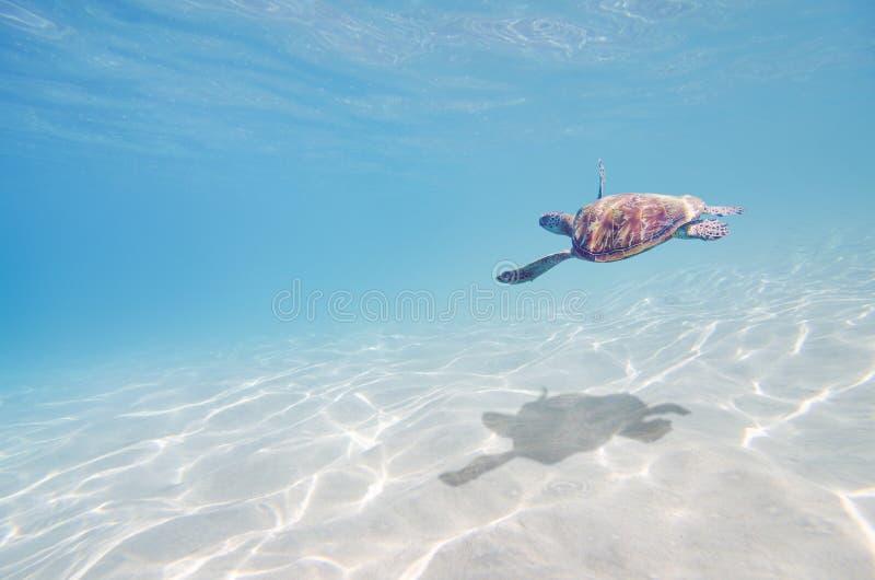 Seeschildkröte Unterwasser lizenzfreie stockfotos