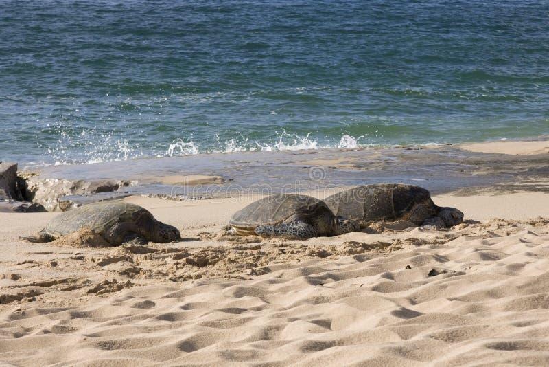 Seeschildkröten lizenzfreie stockfotos