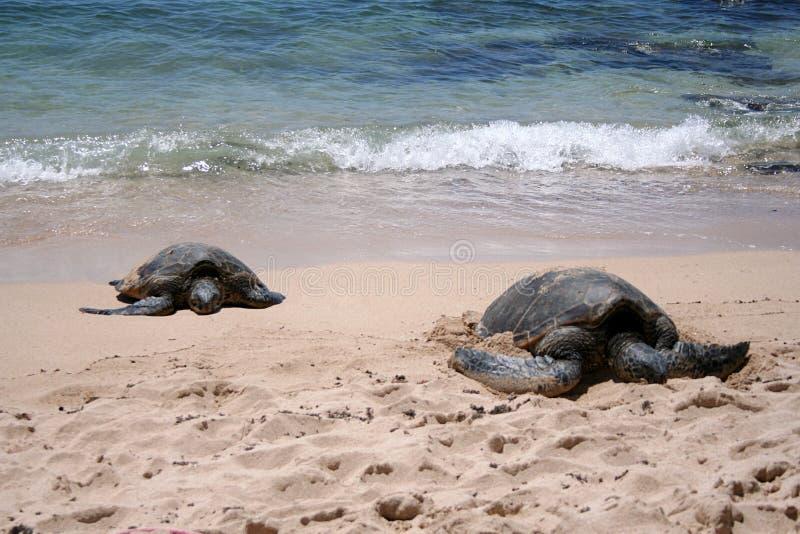 Seeschildkröten lizenzfreie stockbilder