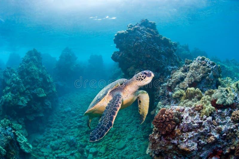 Seeschildkröteriff