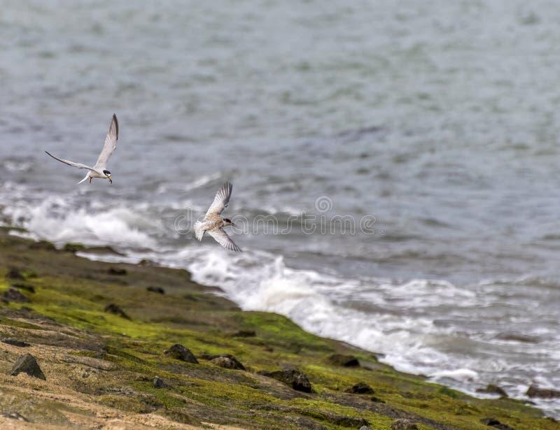 Seeschwalben, die Opfer fangen und entlang die Küstenregion fliegen lizenzfreie stockfotos