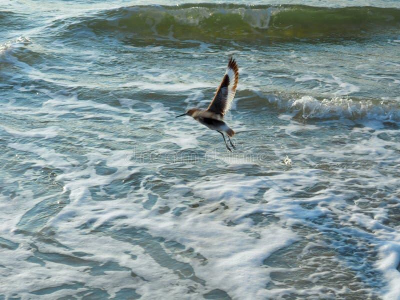 Seeschwalben-Fliegen über der atlantischen Küstenlinie bei Carolina Beach stockbild
