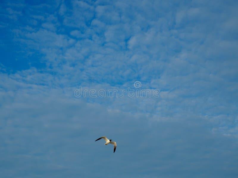 Seeschwalben-Fliegen in einem blauen Himmel bei Carolina Beach stockfotografie