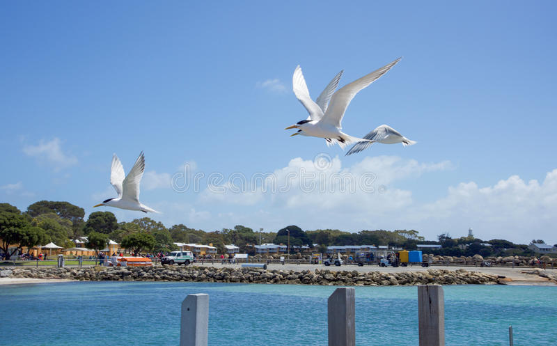 Seeschwalben-Fliegen mit Haube stockfoto