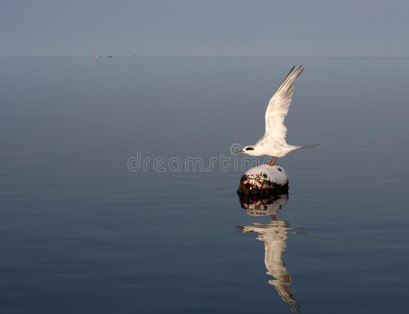 Seeschwalben-Start lizenzfreies stockfoto