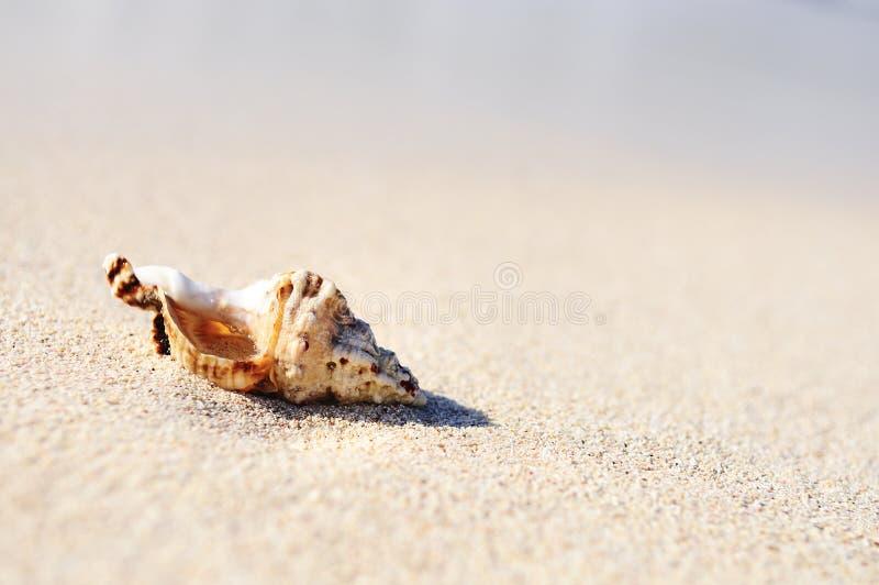Seeshells auf dem Strand stockbild