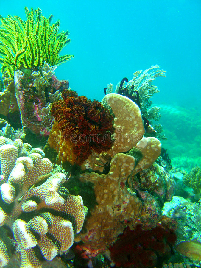 Seesterne und harte Korallen lizenzfreies stockbild