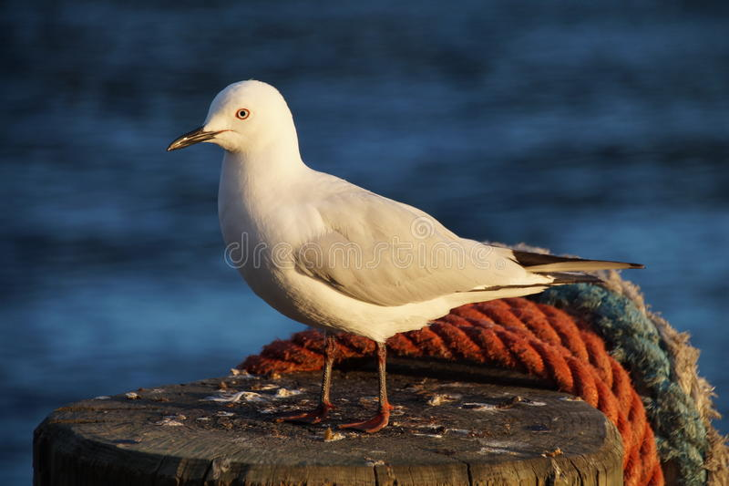 Segal bird. Segal is a common birds on the beaches stock images
