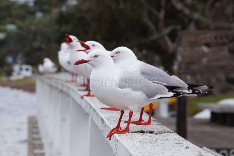 Segal bird. Segal is a common birds on the beaches stock photos