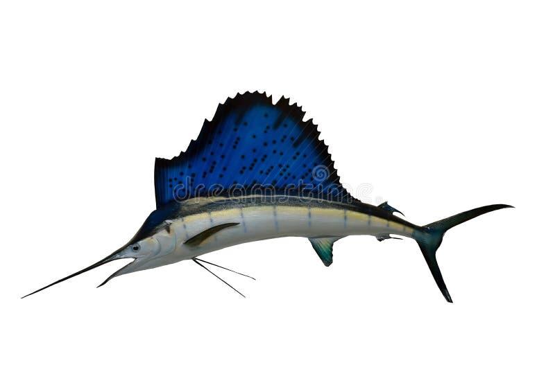 Segelfisch stockfotos