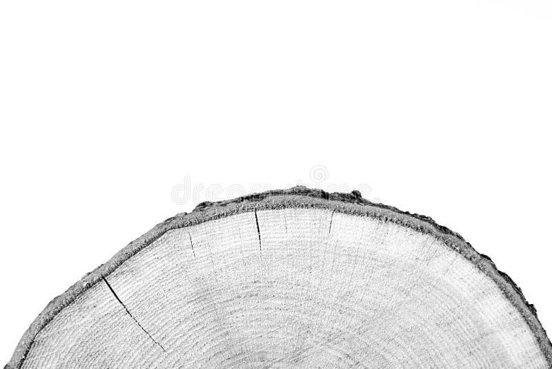 Segment av färskt ekträ fotografering för bildbyråer