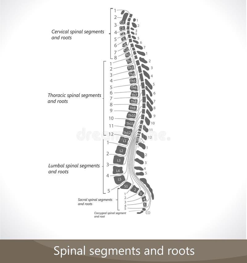Segments et fonds spinaux illustration de vecteur