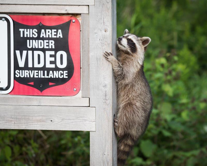 Segno mascherato di sicurezza di sorveglianza di Raccoon Climbing Video del bandito fotografie stock libere da diritti