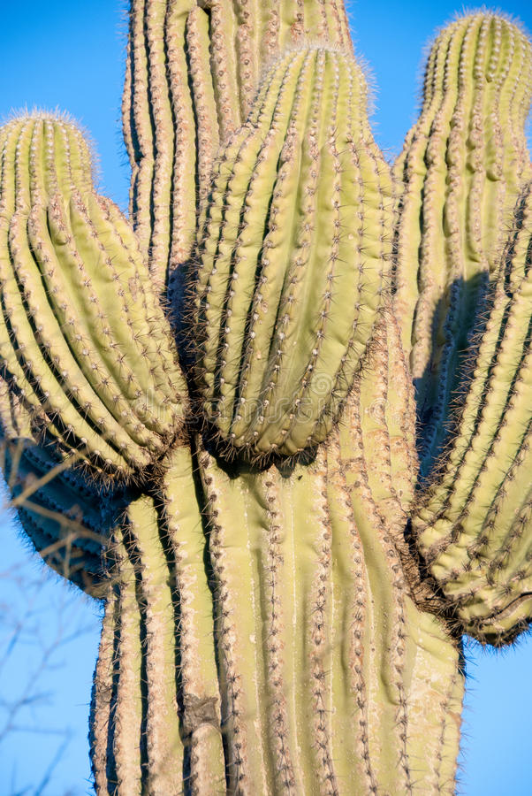 Close up of saguaro cactus in Sonoran Desert royalty free stock photo