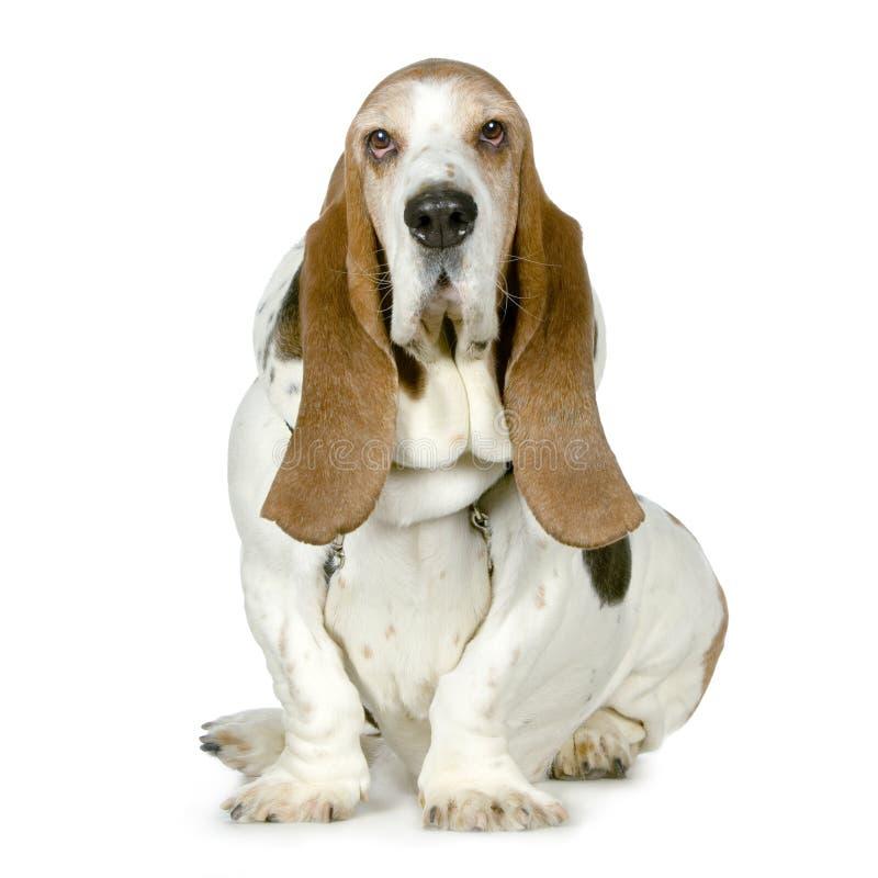 Segugio di bassotto - Hush Puppies fotografie stock
