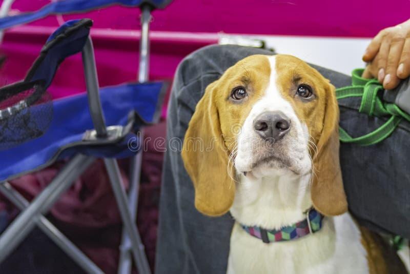 Segugio sveglio del ritratto, caccia attenta canina Segugio dorato del ritratto su fondo multicolore Ritratto del segugio Cane di fotografia stock libera da diritti
