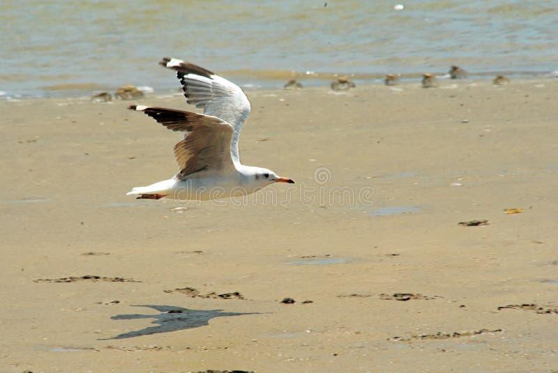 Segull flyg på sanden royaltyfria foton