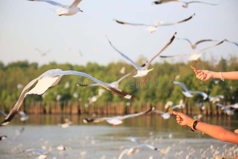 Segulls dell'alimentazione, Bangpu, Tailandia fotografia stock libera da diritti