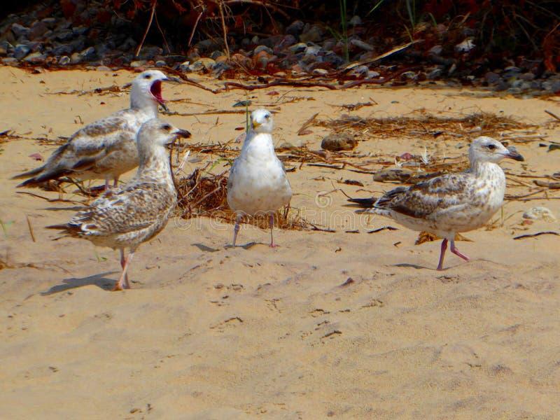 Segulls op Sandy Beach in Oostzee natuurlijke als achtergrond stock fotografie