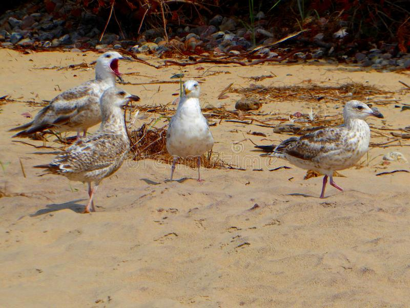 Segulls On The Sandy Beach in natural background Baltic Sea stock photography