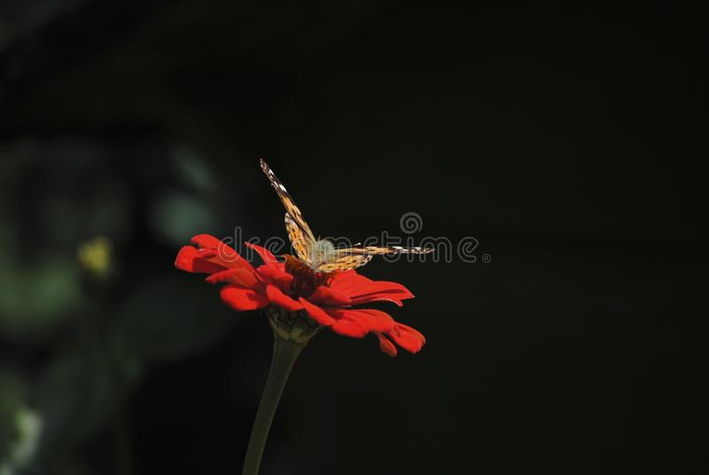 Segunda mariposa en la flor imágenes de archivo libres de regalías