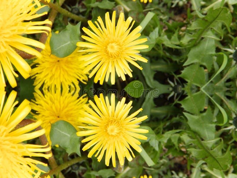 Sehen der doppelten gelben Löwenzahn-Blume stockbild