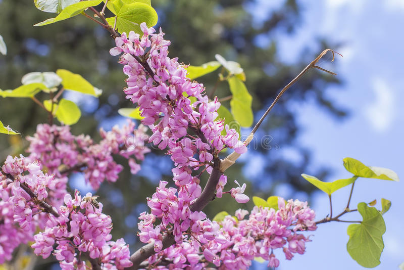 Sehen Sie Landschafthintergrund unscharfe helle rosa Judas Tree-Niederlassung an lizenzfreie stockbilder