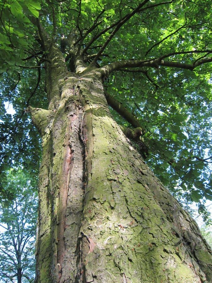 Sehr alter Baum, der oben zu seiner Krone schaut stockfotos