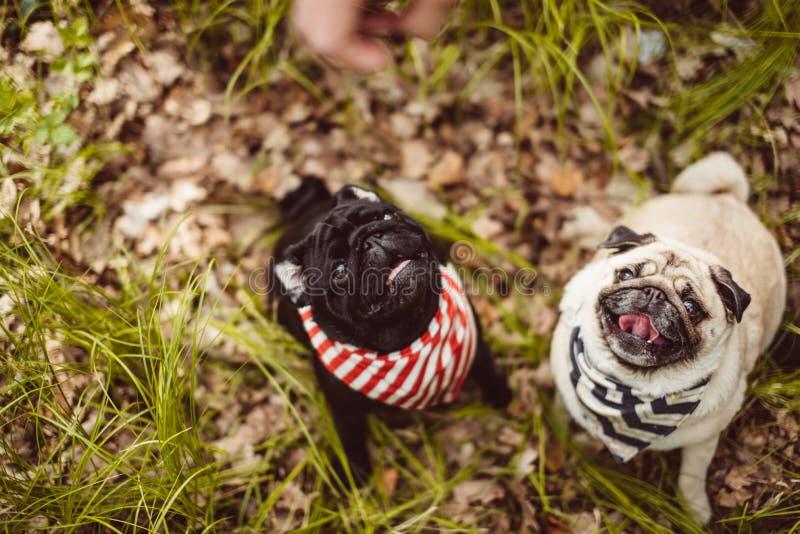 Sehr glückliche Pugschwestern warten auf die Snäcke, die auf dem Boden sitzen stockfoto