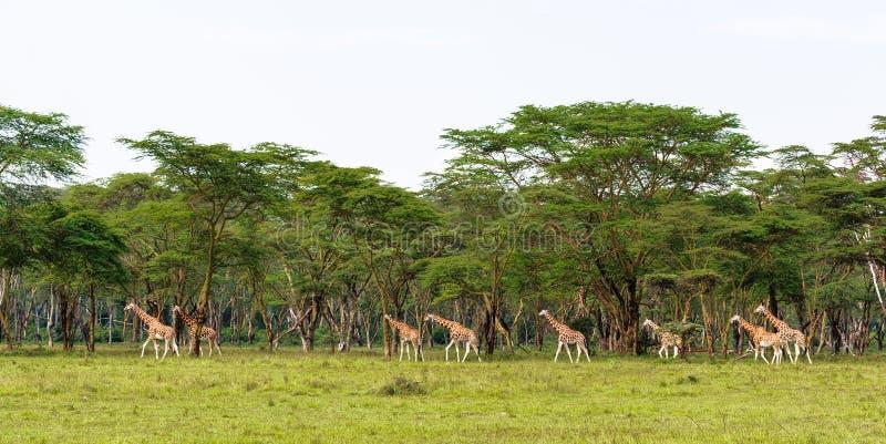 Sehr große Gruppe Giraffen Nakuru, Kenia stockbilder