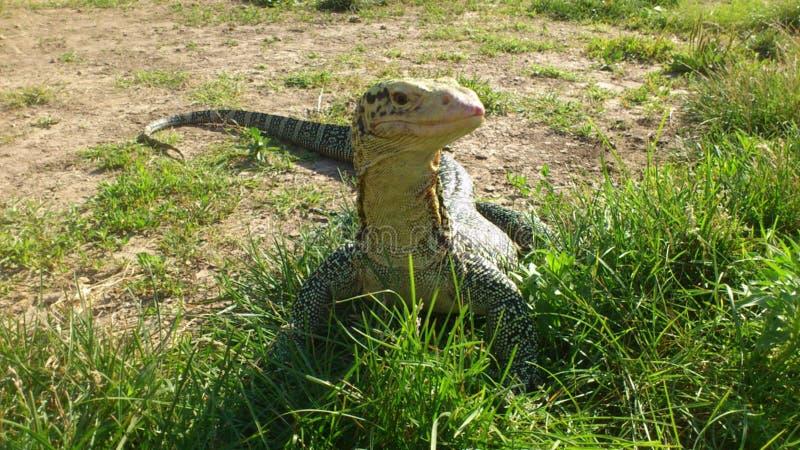 Sehr große Reptilianeidechse in der Gefangenschaft stockbilder