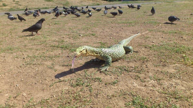 Sehr große Reptilianeidechse in der Gefangenschaft stockfoto