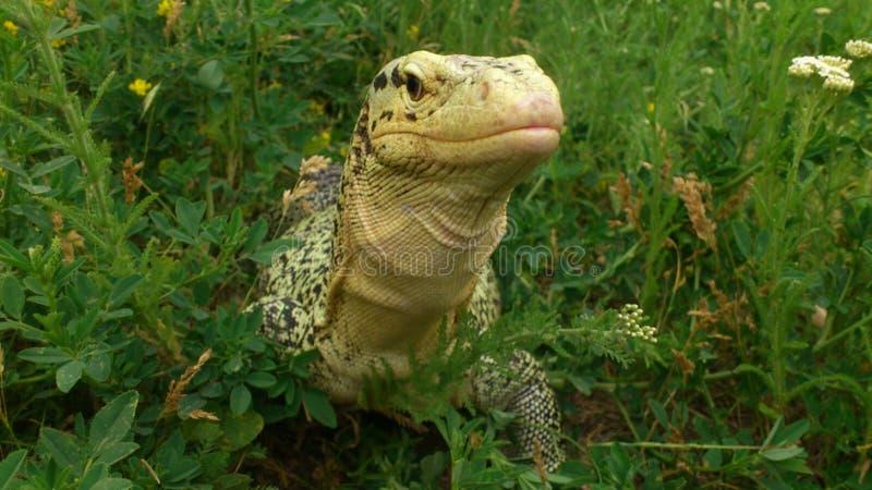 Sehr große Reptilianeidechse in der Gefangenschaft stockfotos