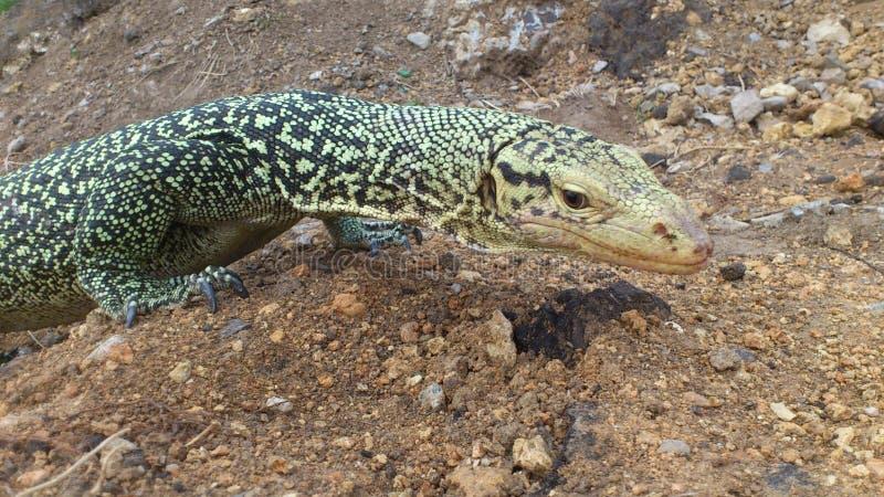 Sehr große Reptilianeidechse in der Gefangenschaft lizenzfreies stockbild
