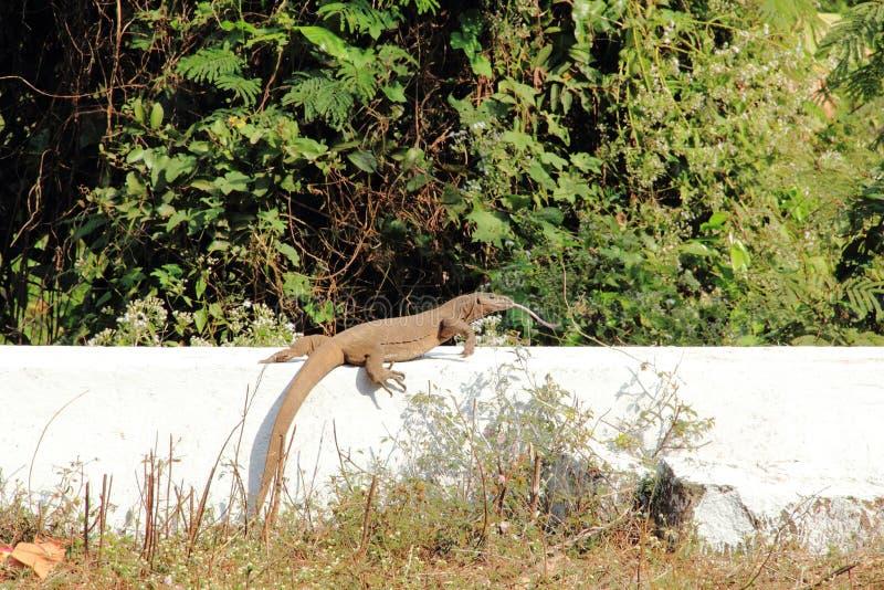 Sehr große Reptilianeidechse in der Gefangenschaft lizenzfreie stockbilder