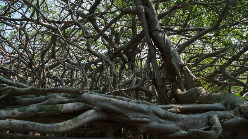Sehr großer Banyanbaum im Dschungel , Baum des Lebens, überraschendes Banya lizenzfreie stockfotos