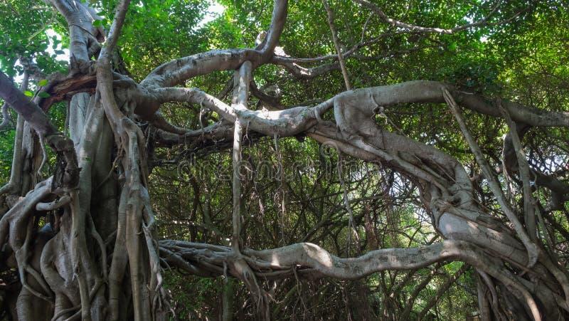 Sehr großer Banyanbaum im Dschungel , Baum des Lebens lizenzfreies stockbild