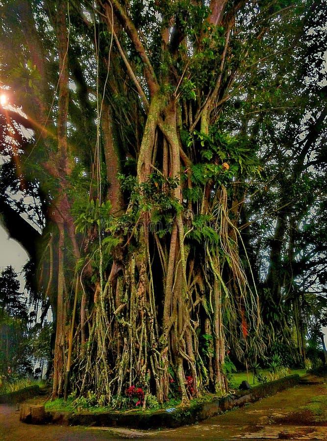 Sehr großer Baum stockbilder