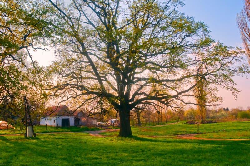 Sehr großer Eichenbaum vor dem Bauernhofhaus lizenzfreie stockfotografie