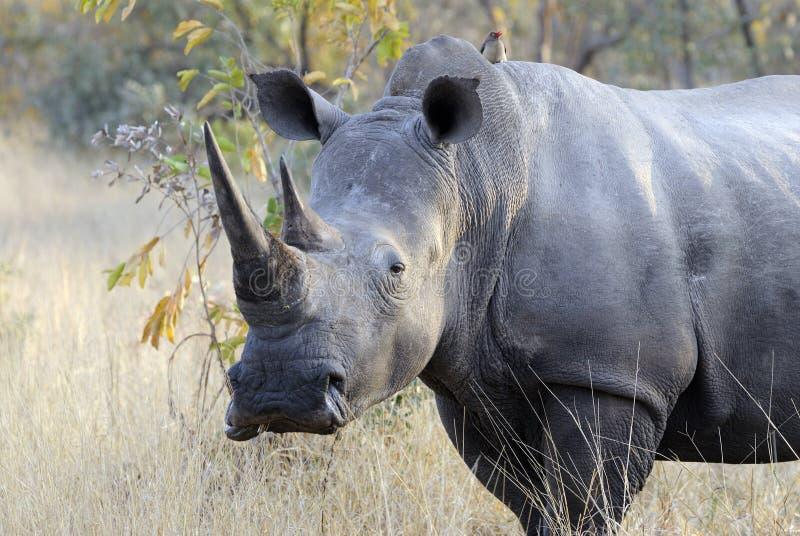 Sehr großes männliches Nashorn stockfotografie
