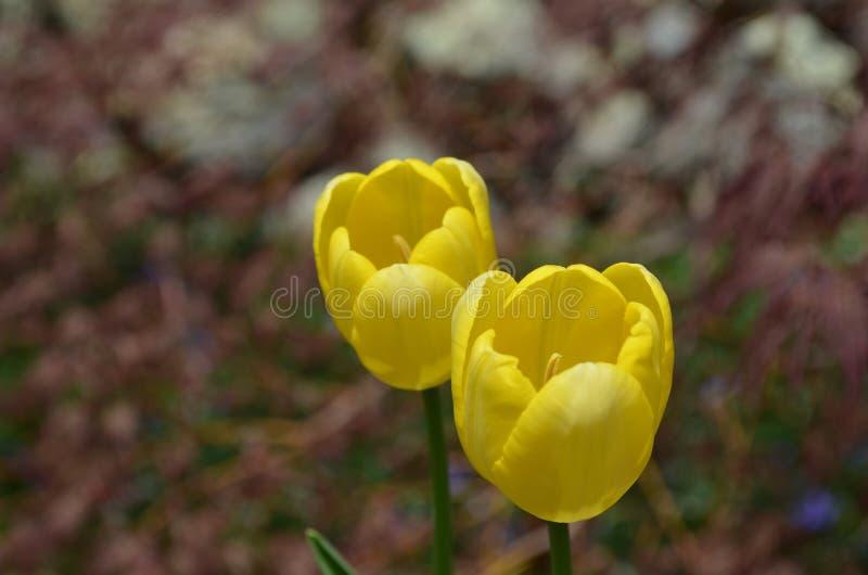 Sehr hübsche Paare von blühender gelber Tulip Blossoms lizenzfreie stockfotografie