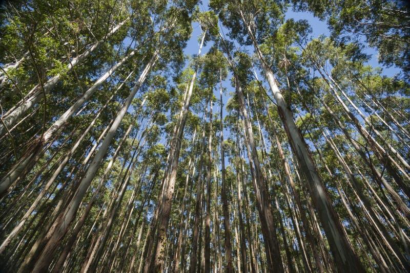 Sehr hohe Bäume Hamakua-Küste, Eukalyptusbäume stockfotografie