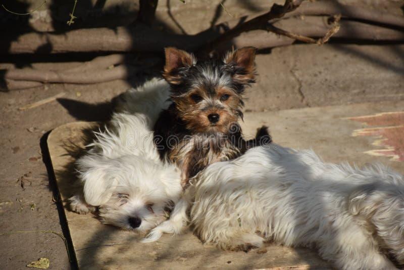 Sehr junge kleine Hunde im Garten stockbilder