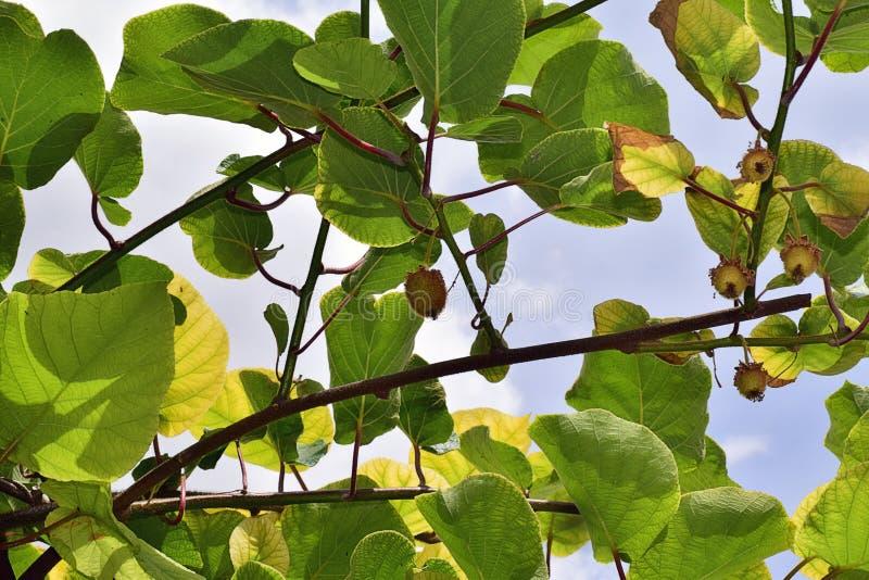 Sehr nette grüne Kiwi in meinem Garten lizenzfreies stockfoto