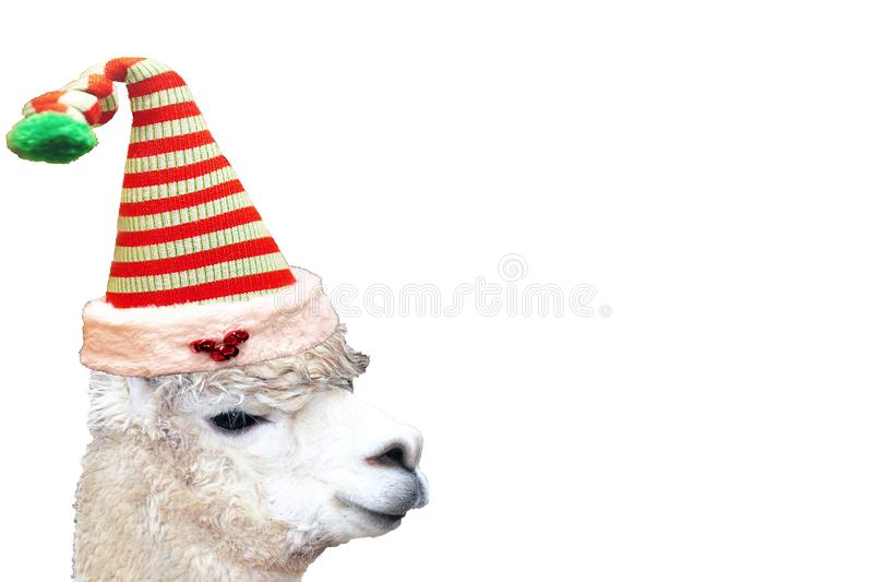 Sehr nettes und lustiges Weihnachtstieralpaka, das einen Elfenhut lokalisiert auf einem leeren weißen Hintergrund trägt lizenzfreies stockbild