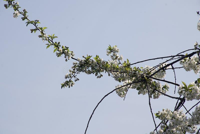 Sehr prety Obstbaum blüht im Sonnenschein lizenzfreie stockfotos