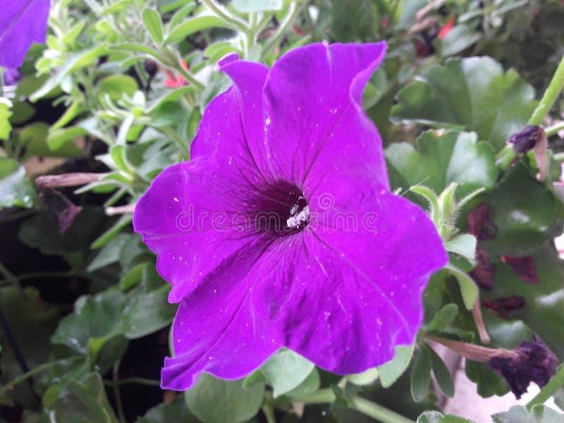 Sehr purpurrote Blume stockfotos