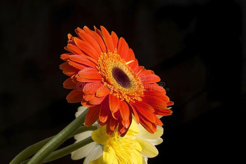 Sehr recht gelber und orange gerber Abschluss oben im Sonnenschein stockbilder