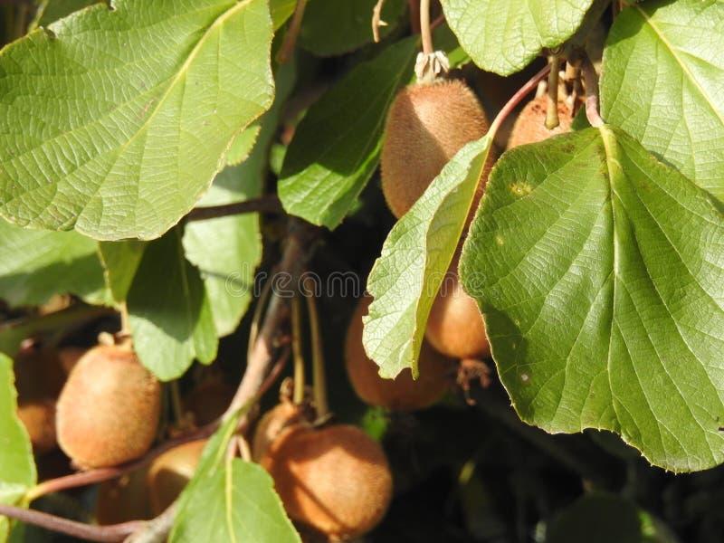 Sehr schöne Früchte der Kiwi in ihrem Baum lizenzfreie stockfotografie