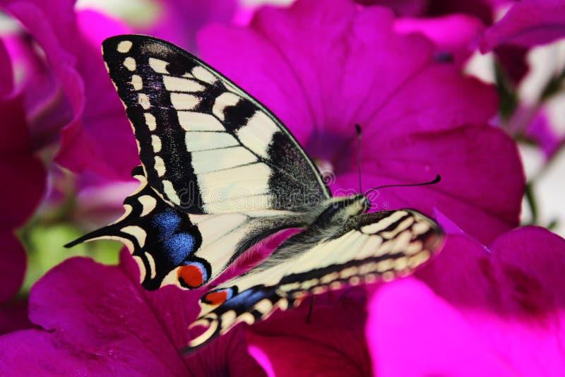Sehr schöner Schmetterling, der auf Petunien sitzt stockfotografie